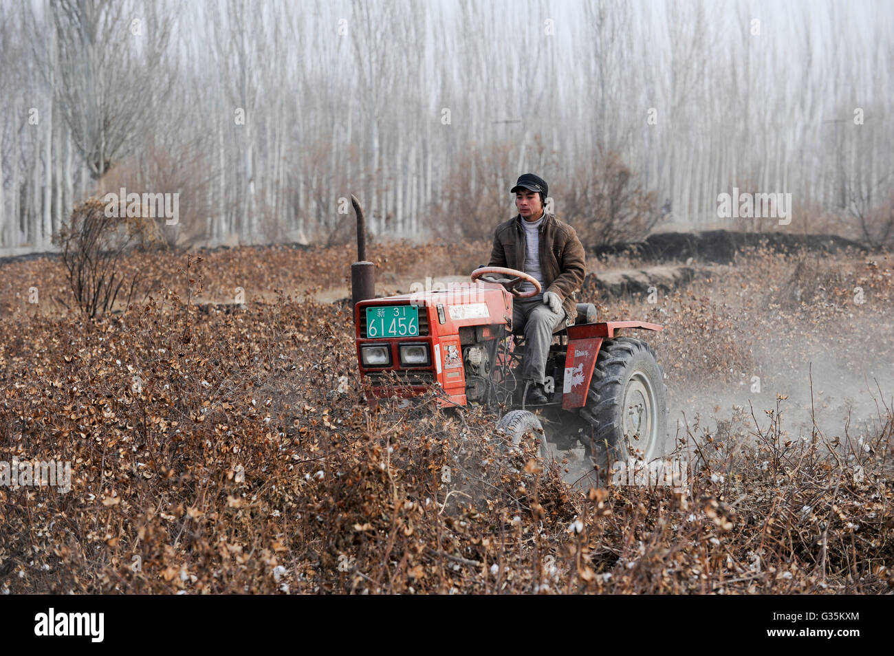CHINA province Xinjing Kashgar , uyghur farmer with tractor removes cotton plants after harvest in farm - Stock Image