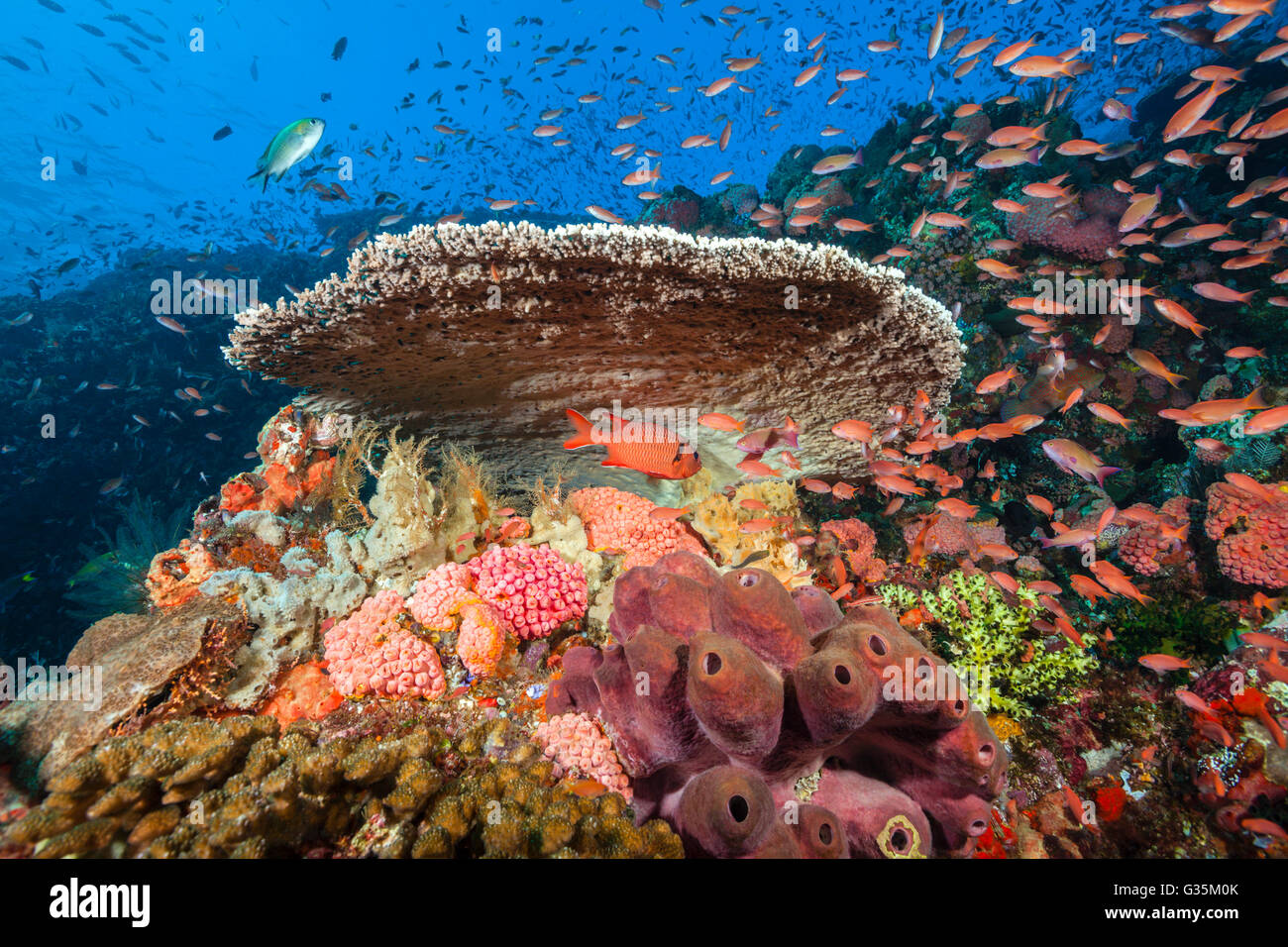 Colored Coral Reef, Komodo National Park, Indonesia - Stock Image