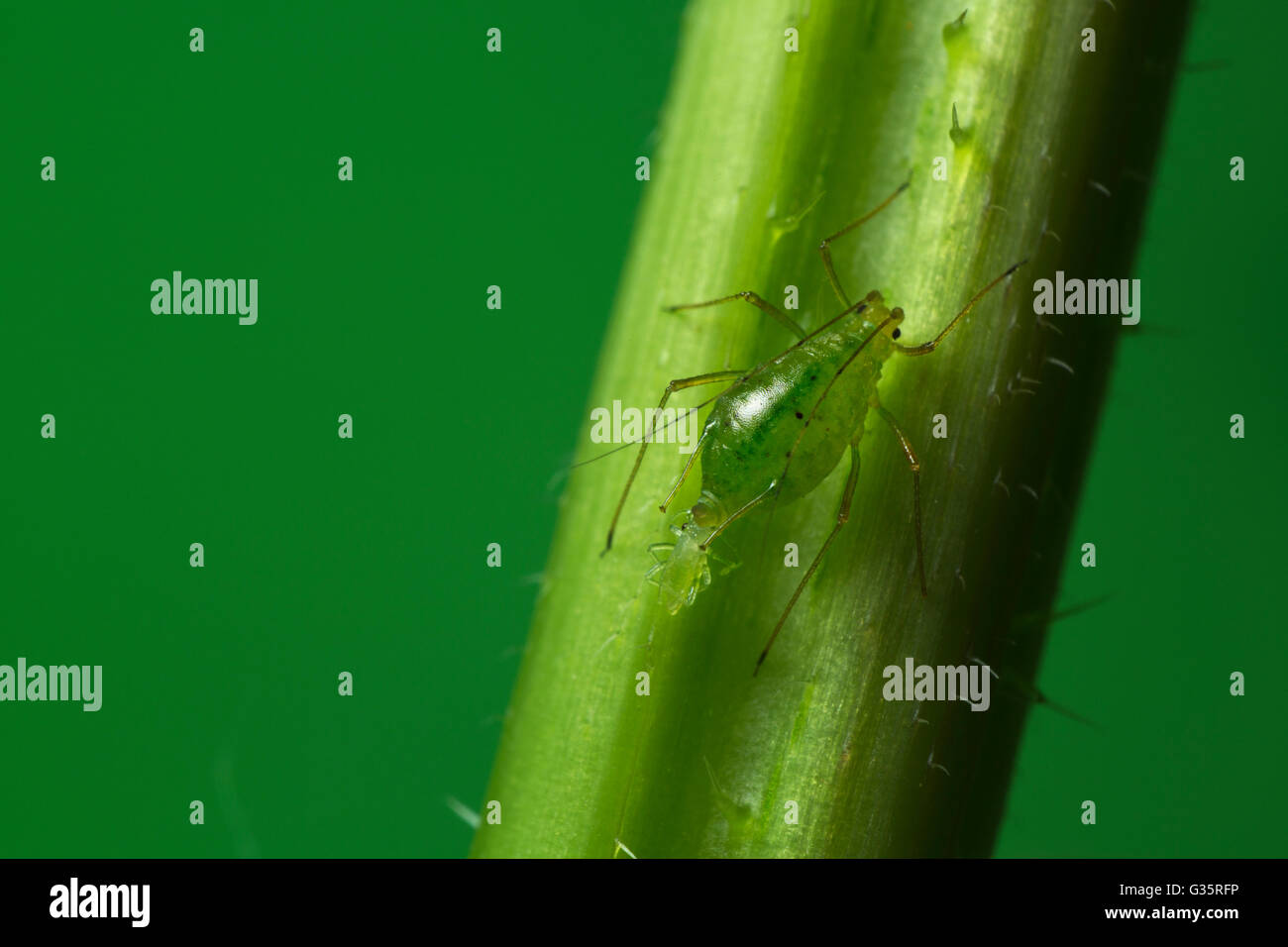 Common Nettle Aphid Microlophium carnosum reproducing Stock Photo