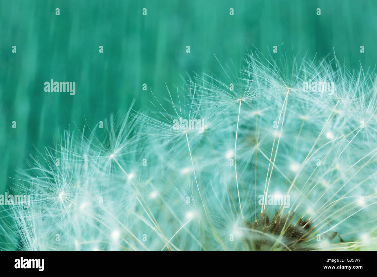 Dandelion Seeds Symbol Of Baldness Problems With Hair Stock