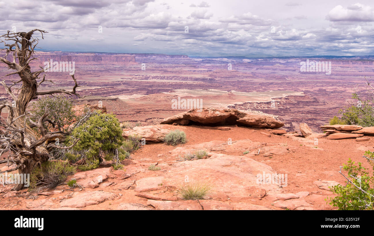 A lone Utah Juniper tree under threatening clouds on the White Rim Overlook Trail, in the Islands in the Sky Dis Stock Photo