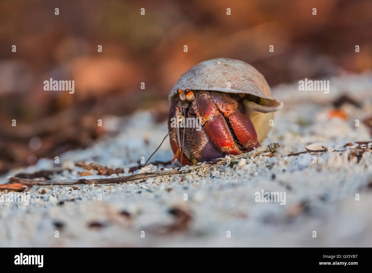Carribean Hermit Crab, Coenobita clypeatus, foraging in its appropriated whelk shell, Dry Tortugas National Park, - Stock Image