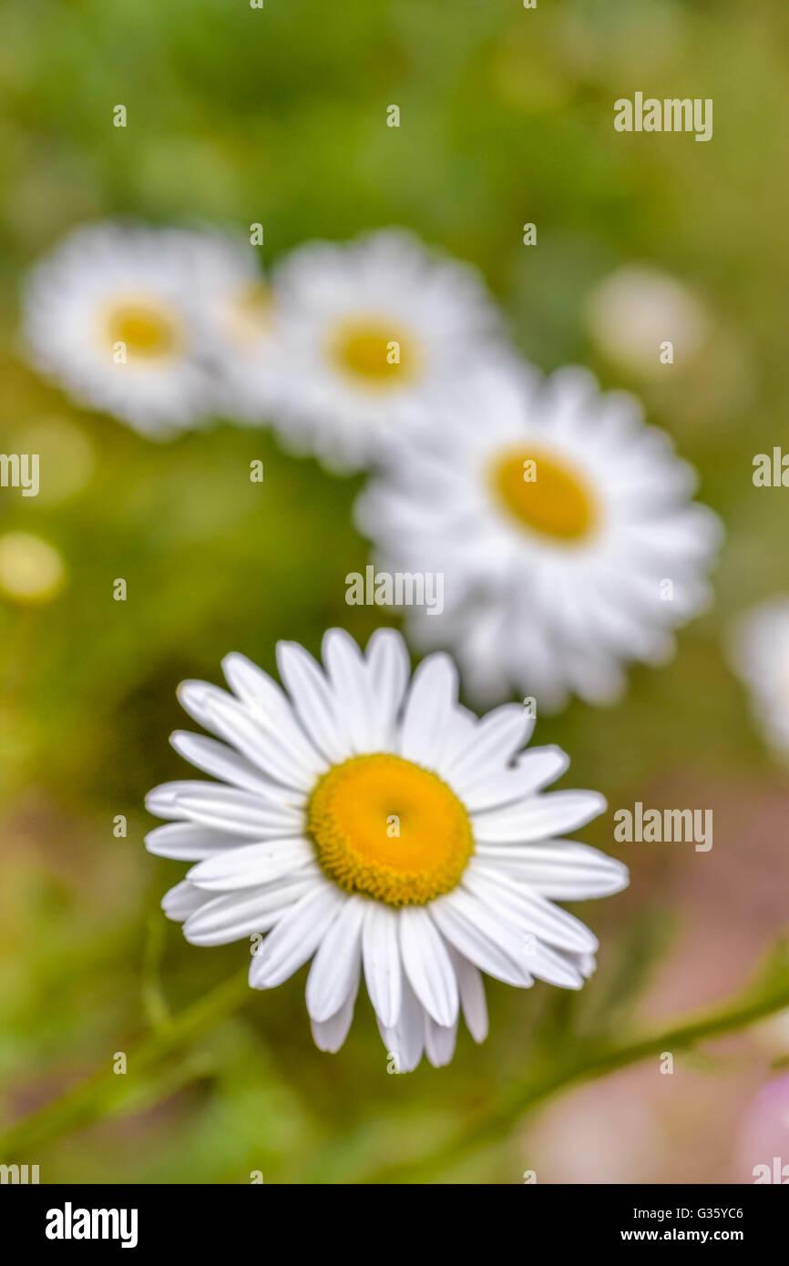 Anthemis, flowers, yellow, white, springtime, garden, romantic, daisy, - Stock Image