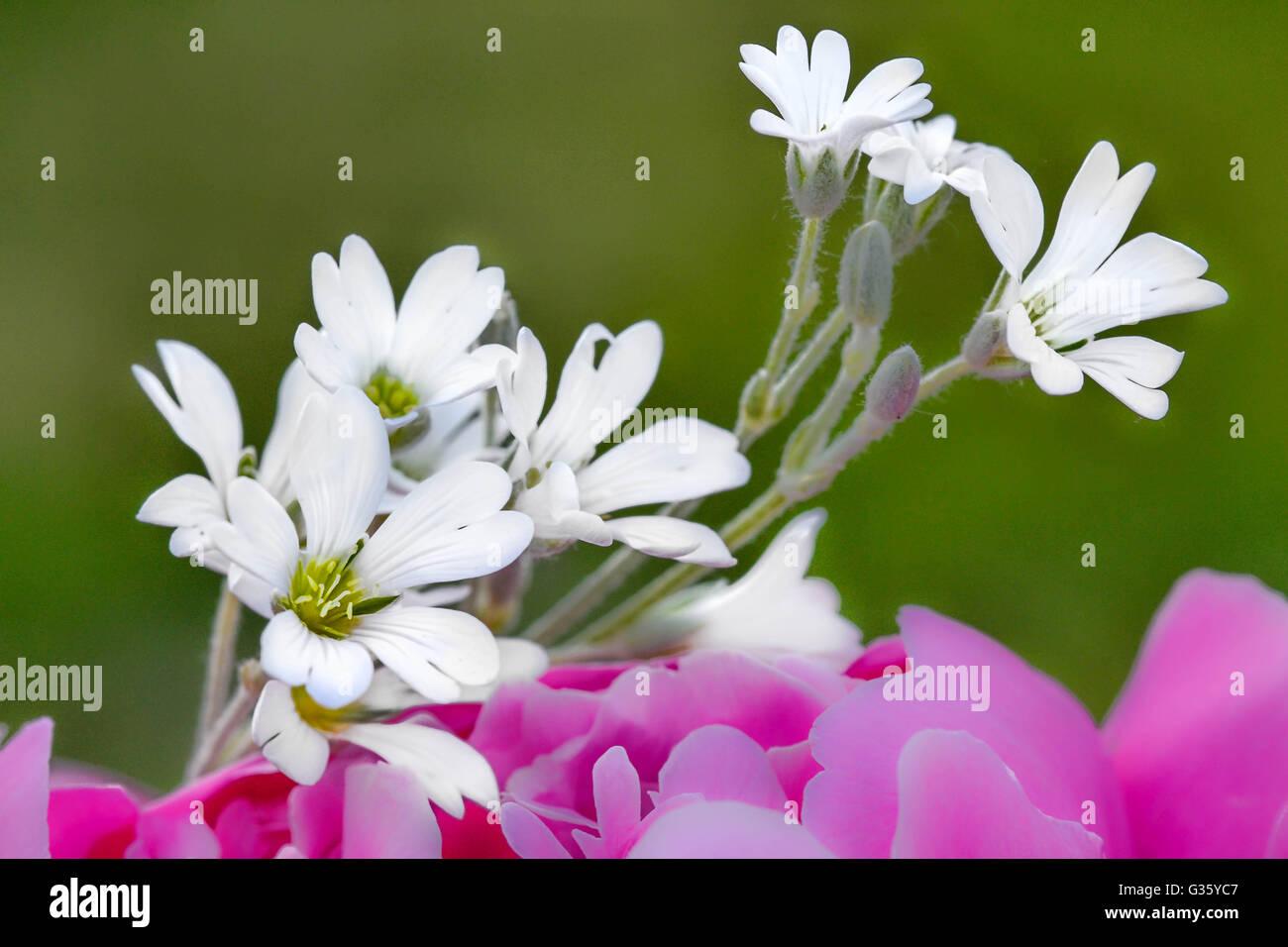 Jana kuusik, flower, white, pink, colour, , decor, flower art, abstract - Stock Image