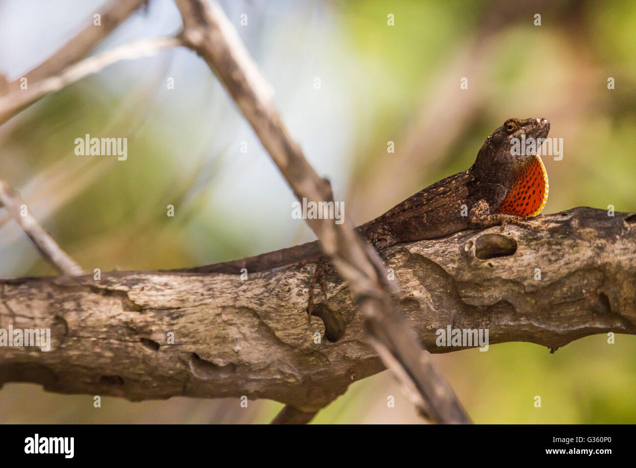 Brown Anole, Anolis sagrei, a nonnative species living on Garden Key in Dry Tortugas National Park, Florida, USA - Stock Image