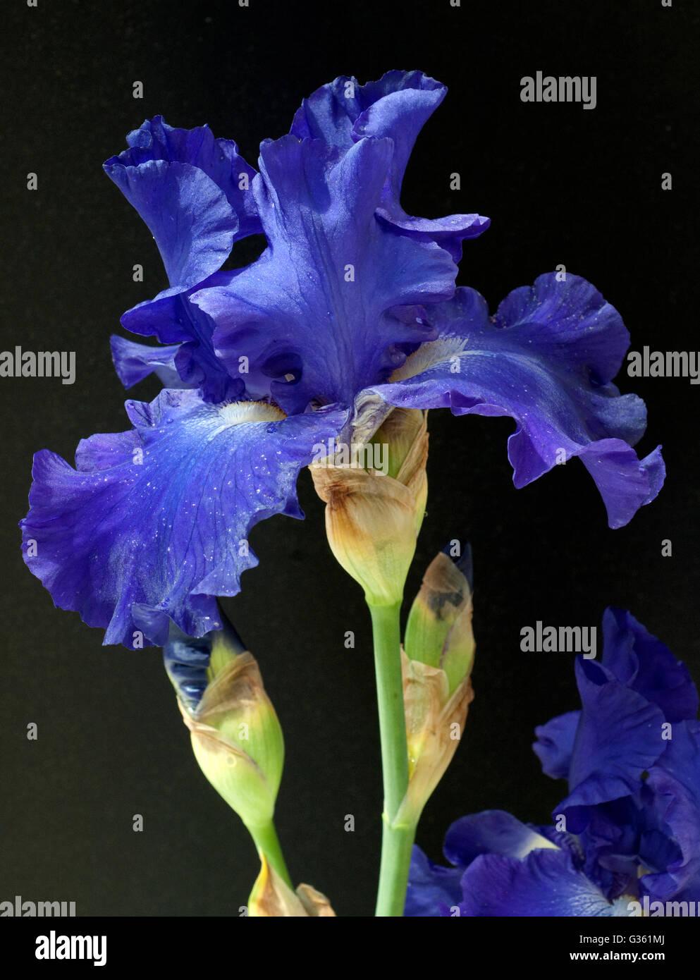 Schwertlilie, Iris Barbata-Elatior, Blue Rhythm, Hohe Bart-Iris - Stock Image