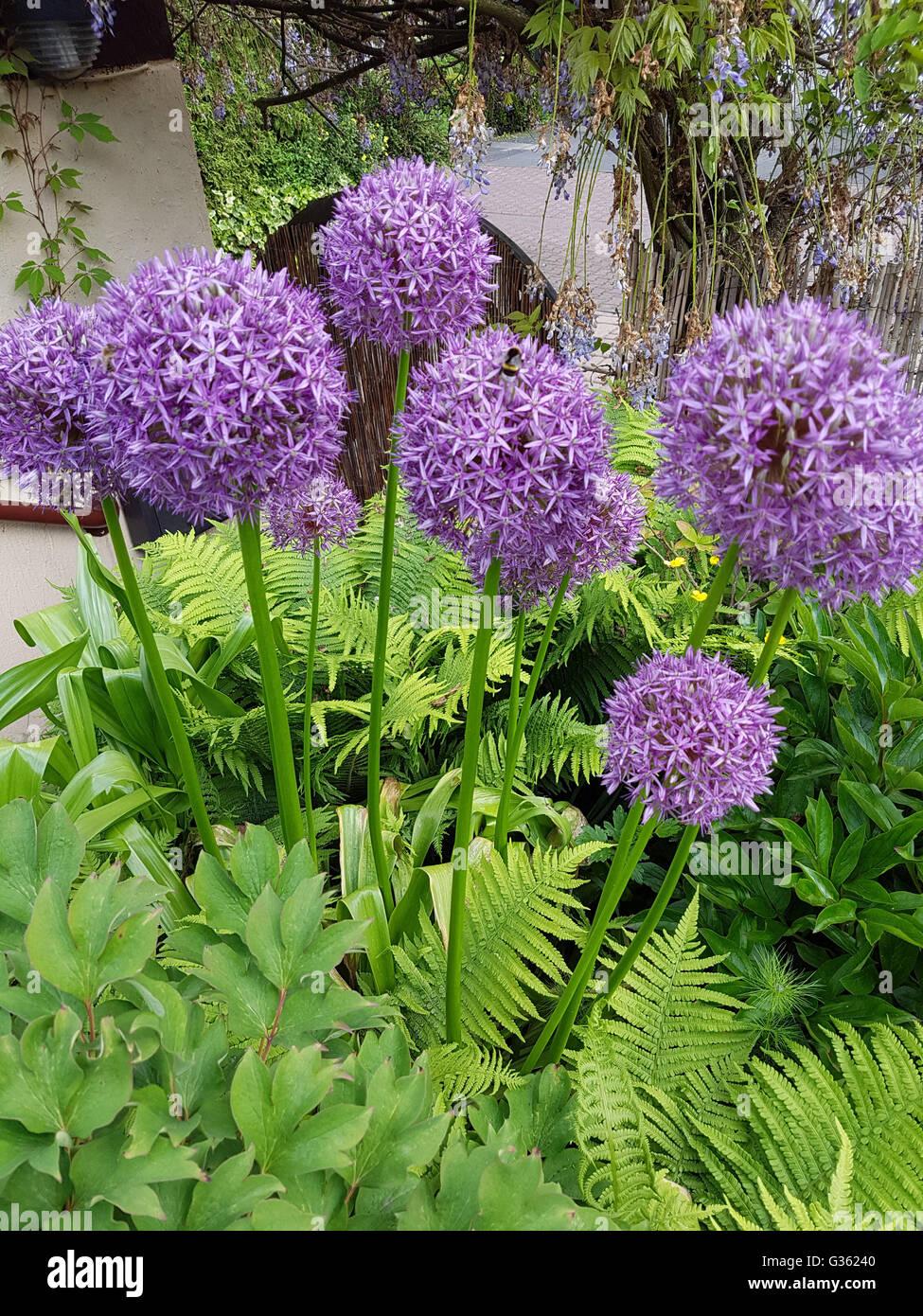 Zierlauch, Riesenlauch, Allium, Giganteum - Stock Image
