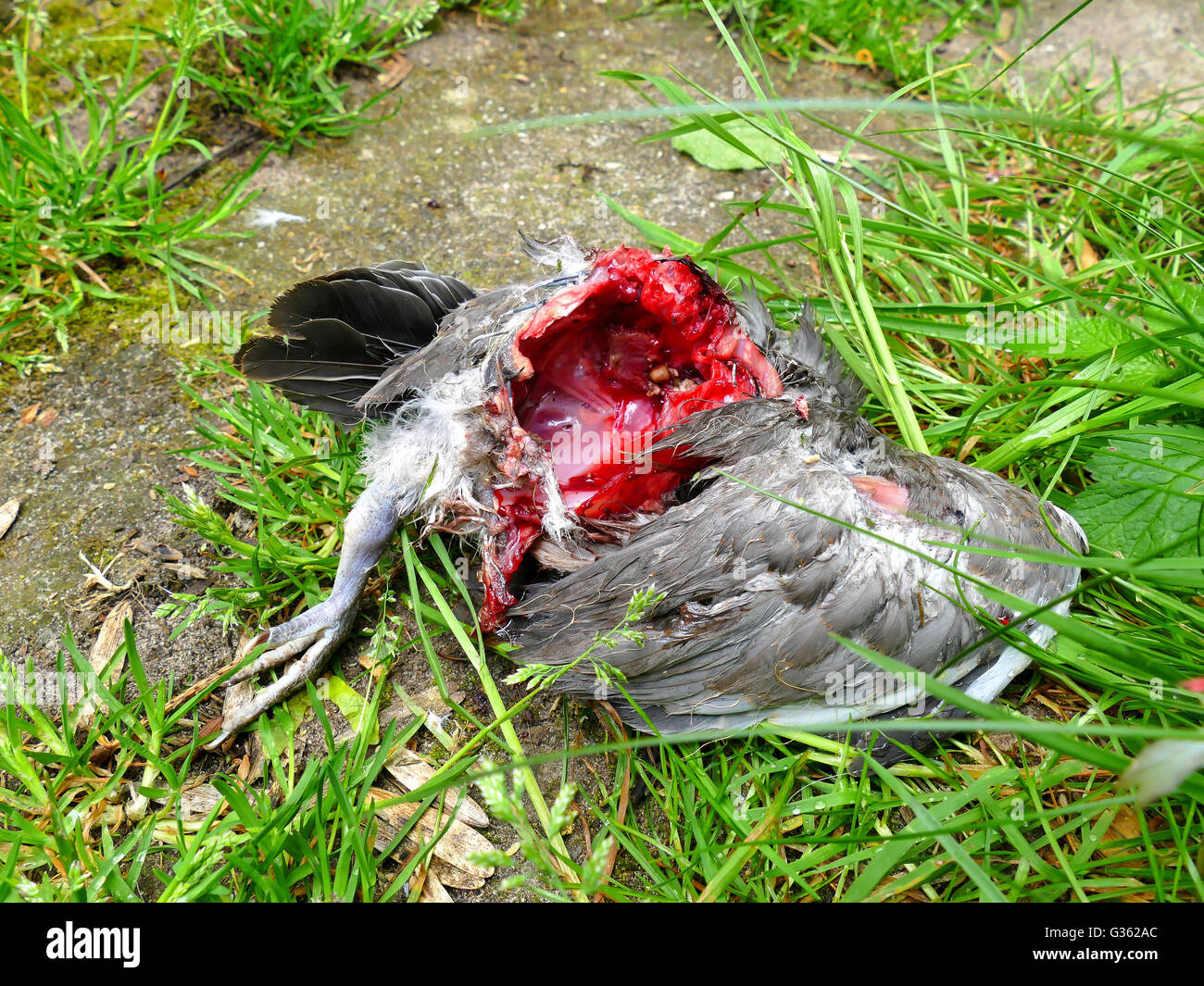 Dead dove, killed by cats, on the ground. Bloody photograph - Stock Image