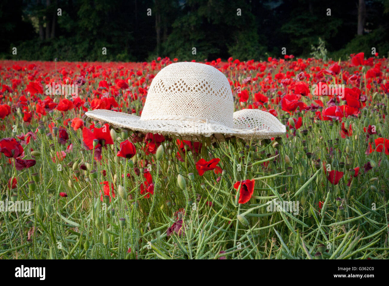 A summery straw hat sat on a field of red poppies - Stock Image