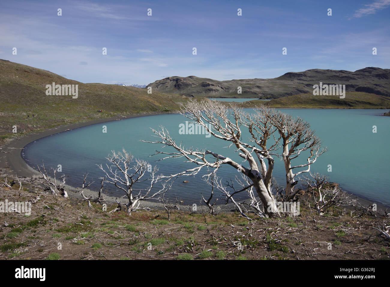 Dead trees after bush fire, Lago Nordenskjöld, Torres del Paine National Park, Chile - Stock Image