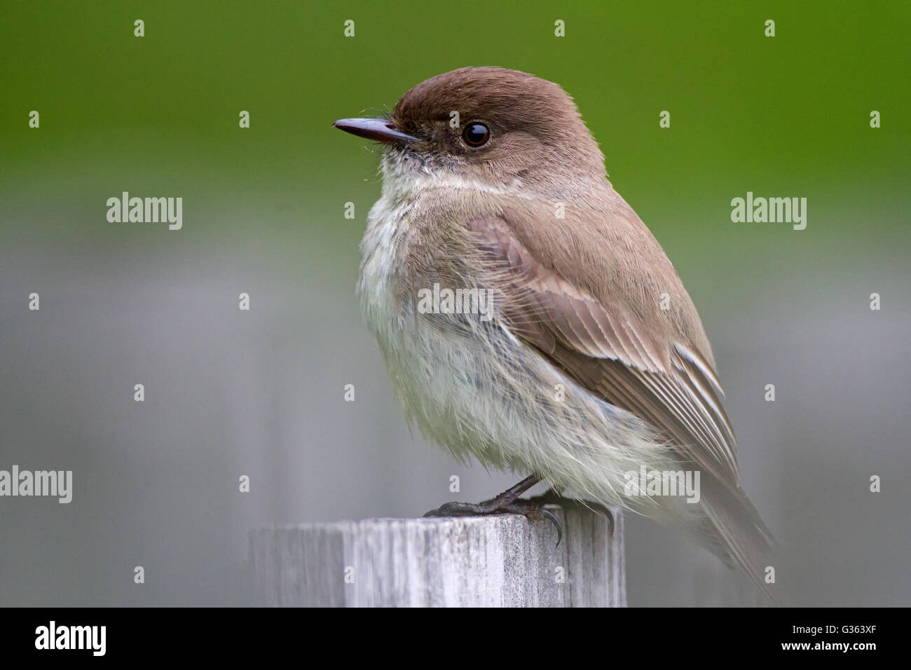 Eastern Phoebe on a fencepost - Stock Image