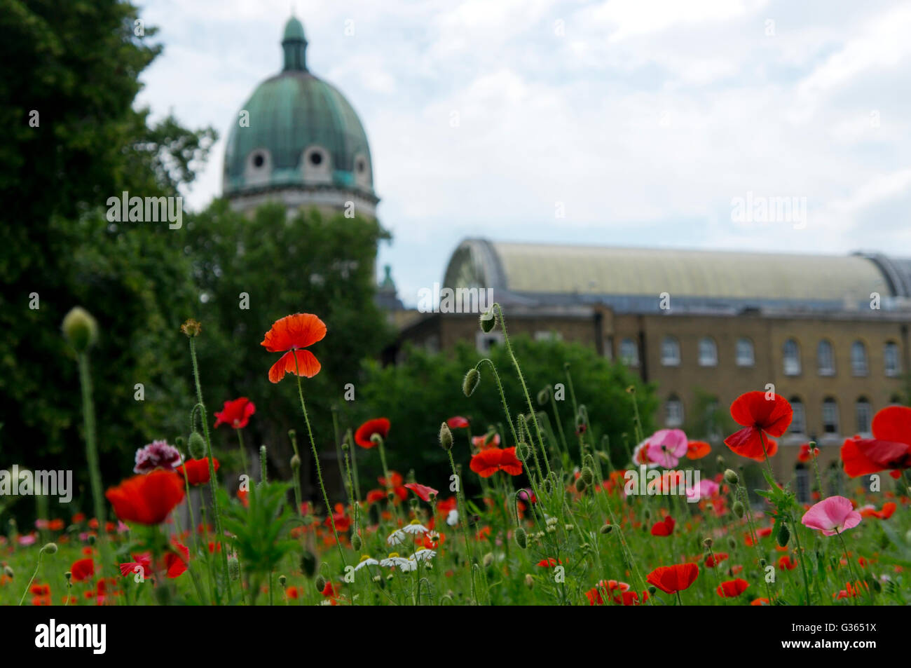 Poppies planted in front of the Imperial War Museum in London. - Stock Image