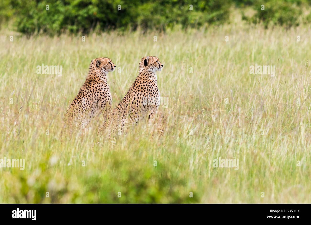 Two cheetahs in Masai Mara sitting in the the grass looking at something, Masai Mara, Kenya , Africa - Stock Image