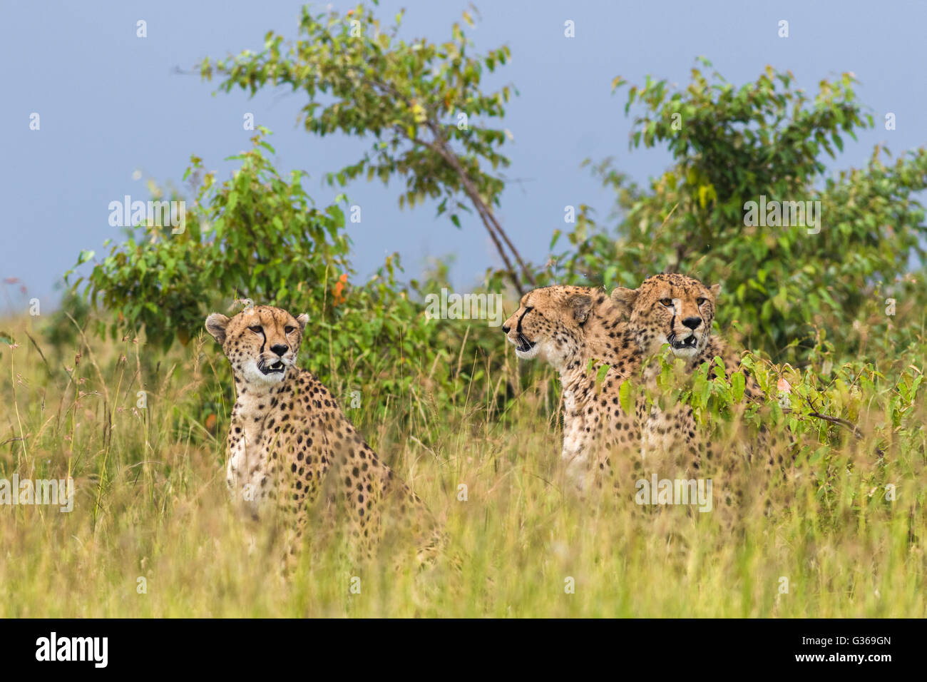 Three cheetahs sitting together in grass looking around like they are hunting, two looking towards camera, Masai - Stock Image