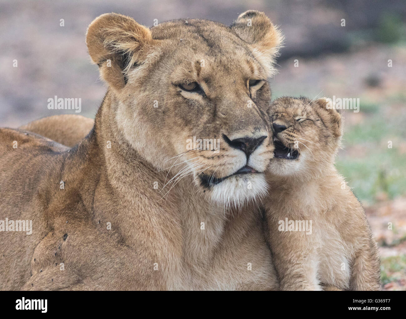 Lioness with cub fondling with each other, Masai Mara, Kenya, Africa Stock Photo
