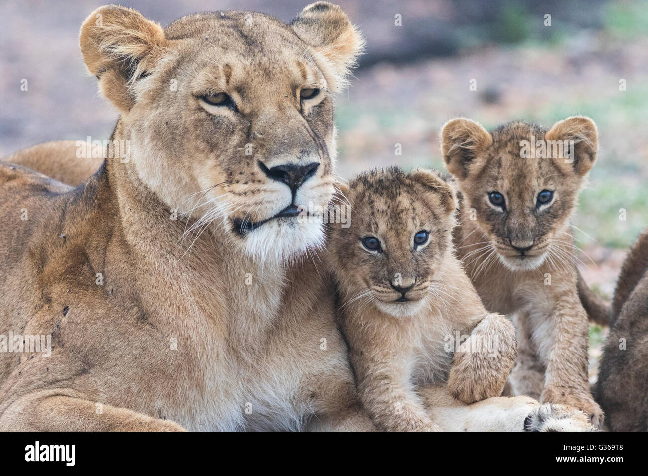 Lioness with two cubs fondling and two cubs looking in to the camera, Masai Mara, Kenya, Africa Stock Photo