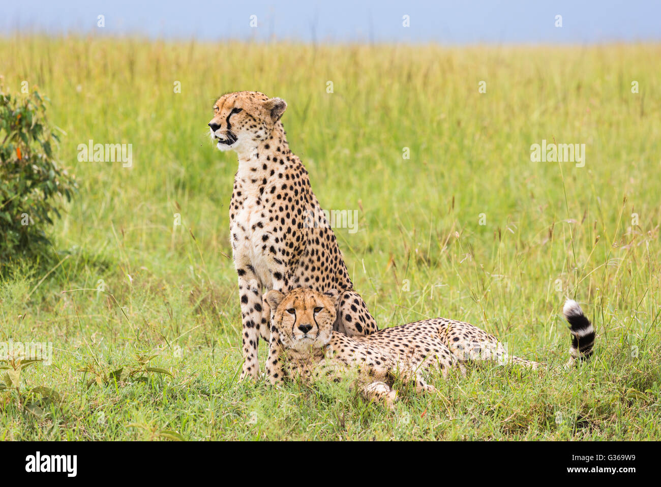 Two cheetahs in Masai Mara on the savanna, one sitting and watching and the other is lying down in the grass resting Stock Photo