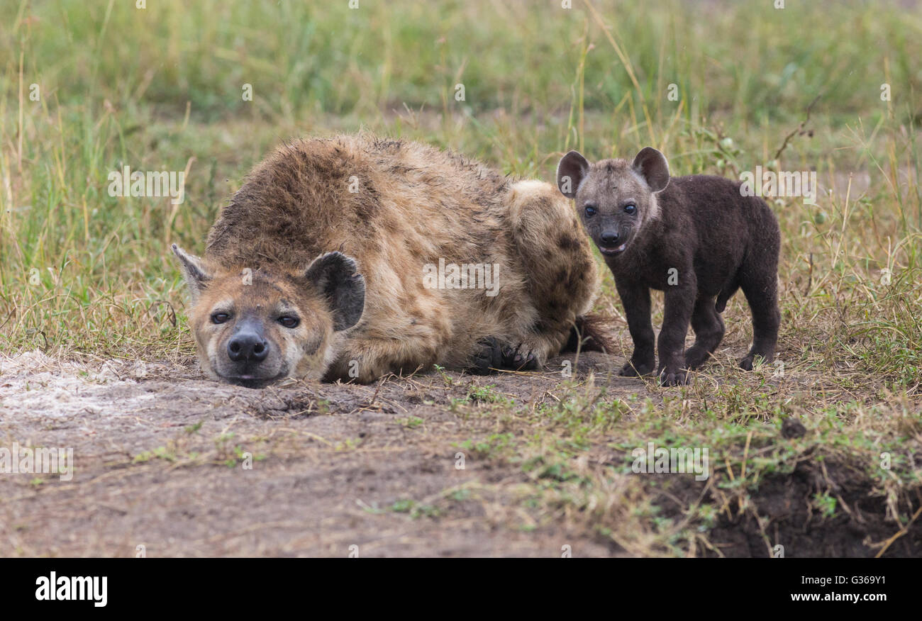 Black spotted hyena with a puppy lying in the grass and the puppy is standing besides her smiling and looking in - Stock Image