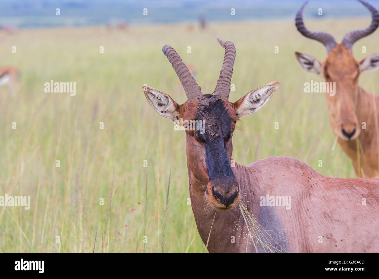 Portrait of a Topi gazelle with grass in his mouth, Masai Mara, Kenya, Africa - Stock Image