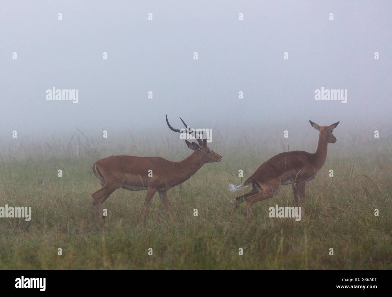 Male and female Impala antelope mating in early morning in foggy conditions, Masai Mara, Kenya, Africa - Stock Image
