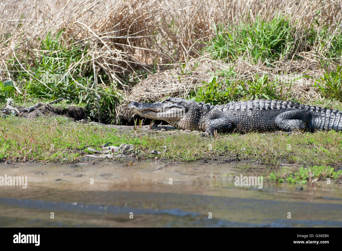North America, USA, Florida, Myakka River State Park, alligators on shore with young beside den - Stock Image