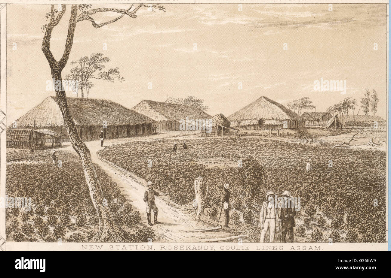 Tea cultivation in Assam : plantation at  Rosekandy         Date: circa 1840 - Stock Image