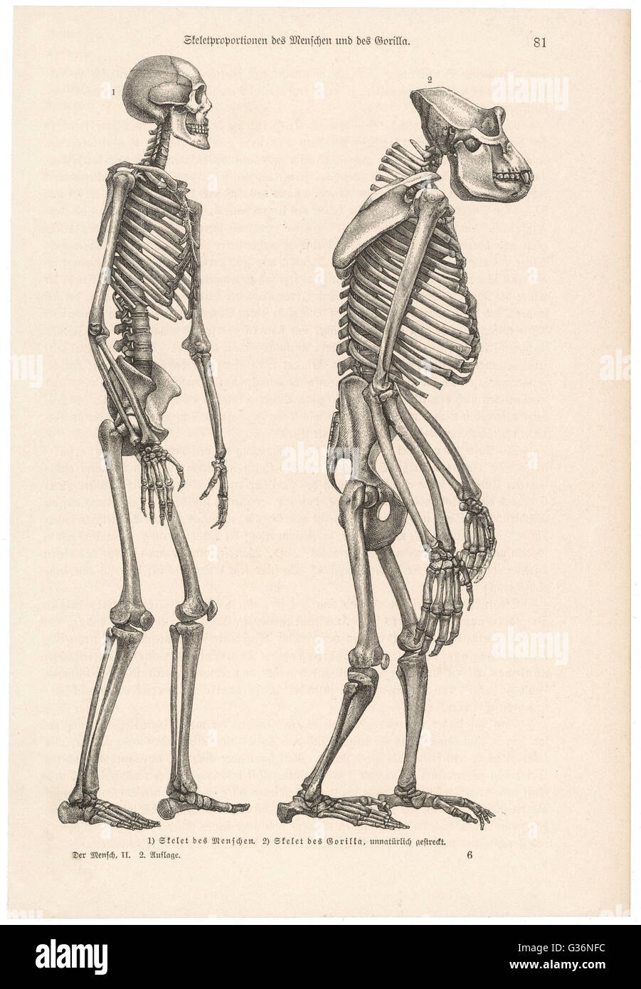 Skeleton Of A Human Stock Photos & Skeleton Of A Human Stock Images ...
