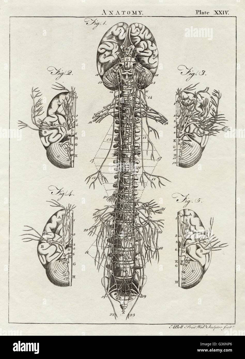 A diagram of the brain and spinal column, including the vertebrae.       Date: 1768 - Stock Image