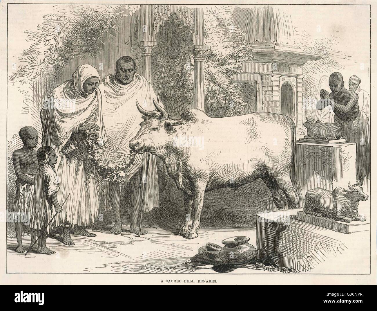 A sacred bull in Benares, India, eats a leafy offering.  In the Hindu religion, all cattle are sacred.        Date: - Stock Image