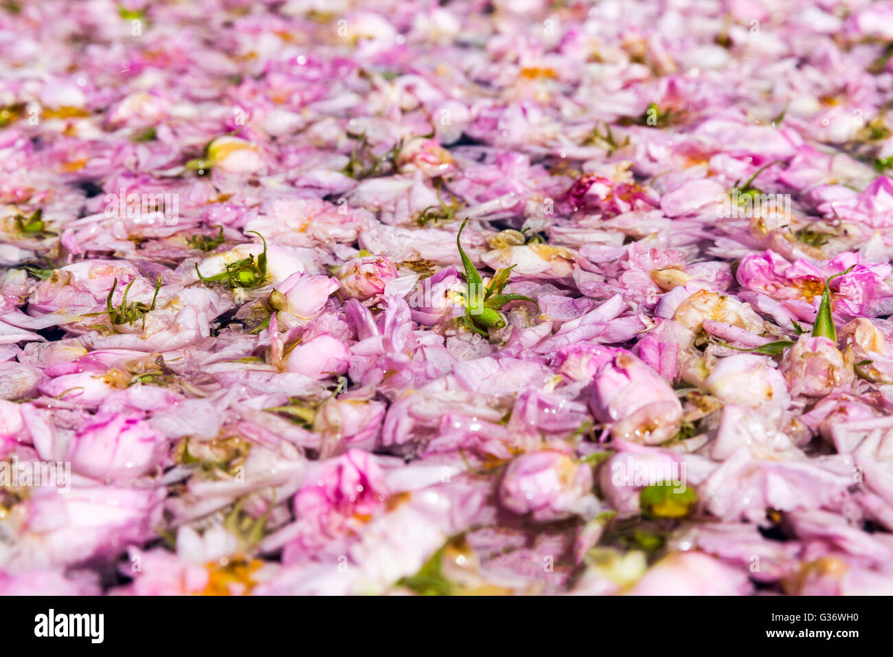 Pink rose blossom in pot-still during the rose picking season in Kazanlak, Bulgaria. - Stock Image