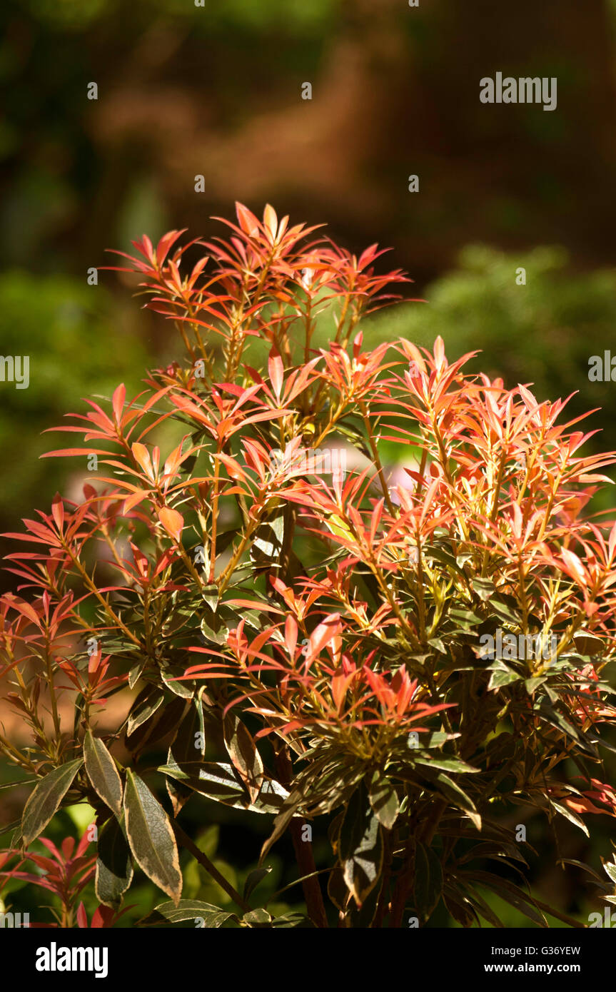 Pieris japonica \'Flaming Silver\', LILY OF THE VALLEY SHRUB Stock ...