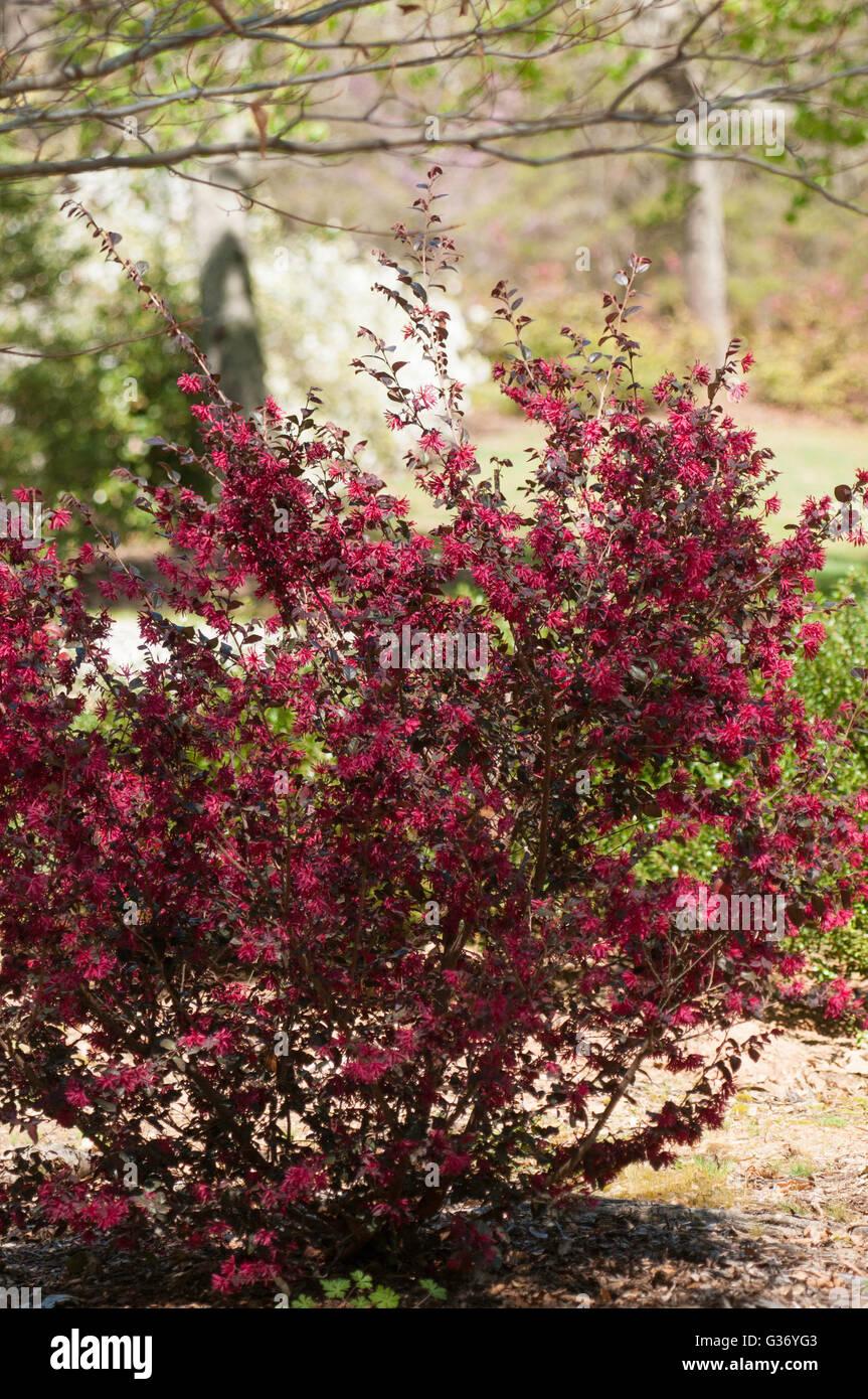 Loropetalum, EVER RED, Loropetalum chinense 'Chang Nian Hong - Stock Image