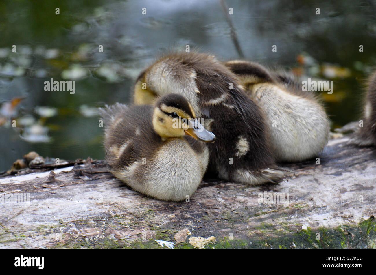 Mallard ducklings sitting on a log. - Stock Image