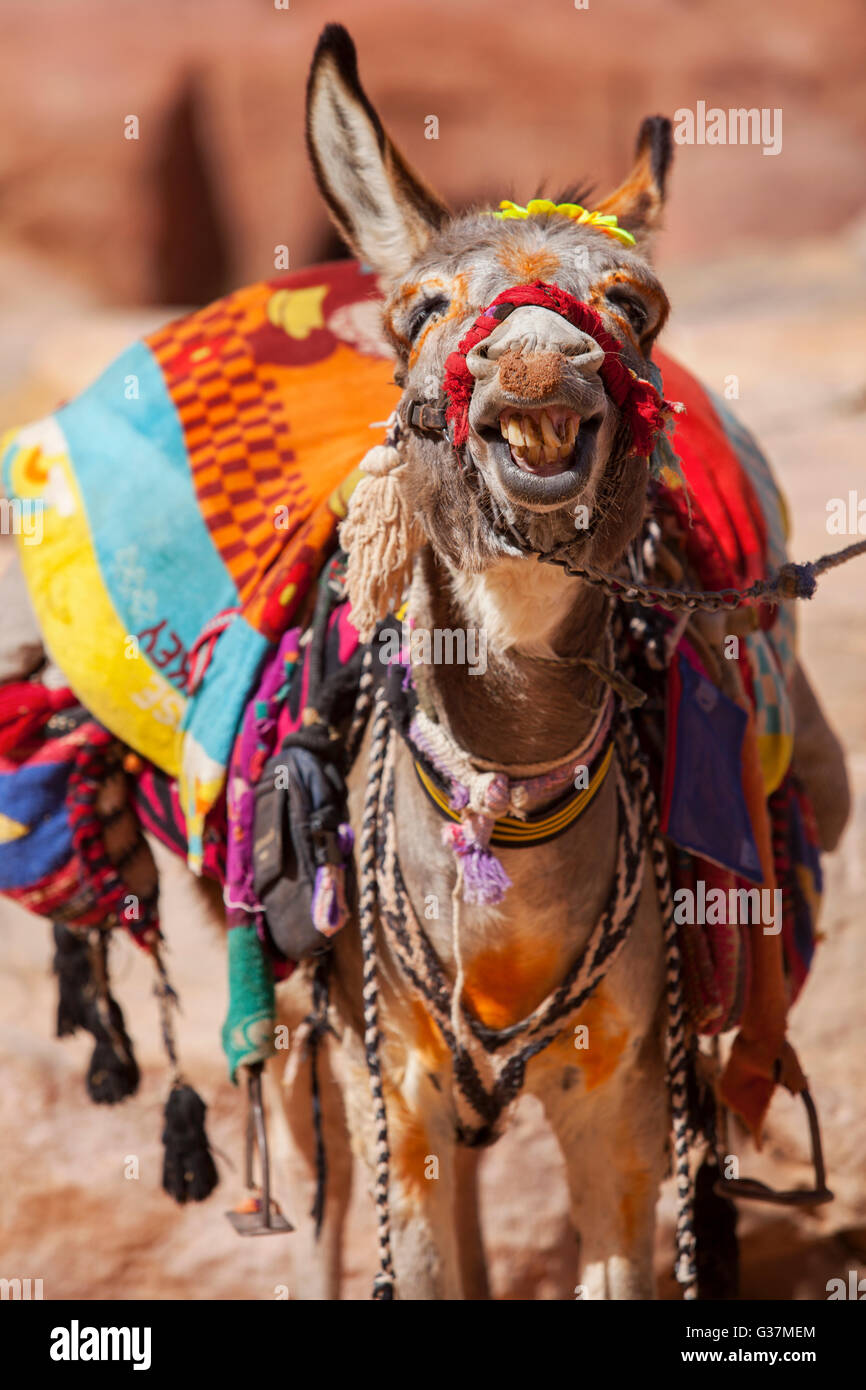 A smiling donkey inside the ancient city of Petra, Jordan. - Stock Image