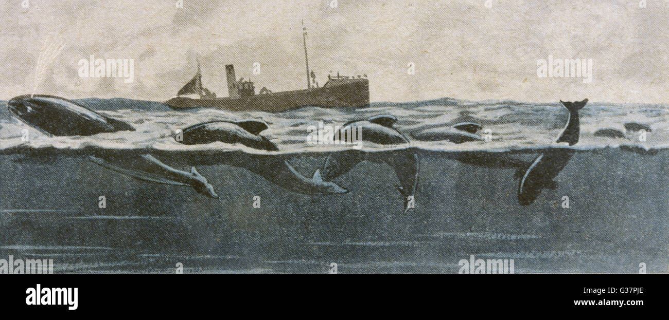 SEA SERPENT LOOK-ALIKE A school of Dolphins         Date: 1927 - Stock Image