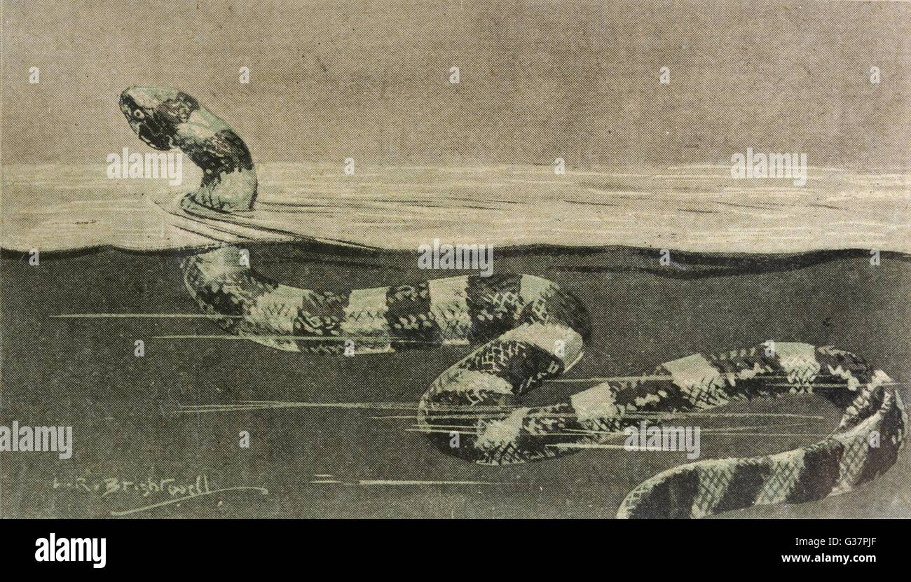 SEA SERPENT LOOK-ALIKE A sea snake         Date: 1927 - Stock Image