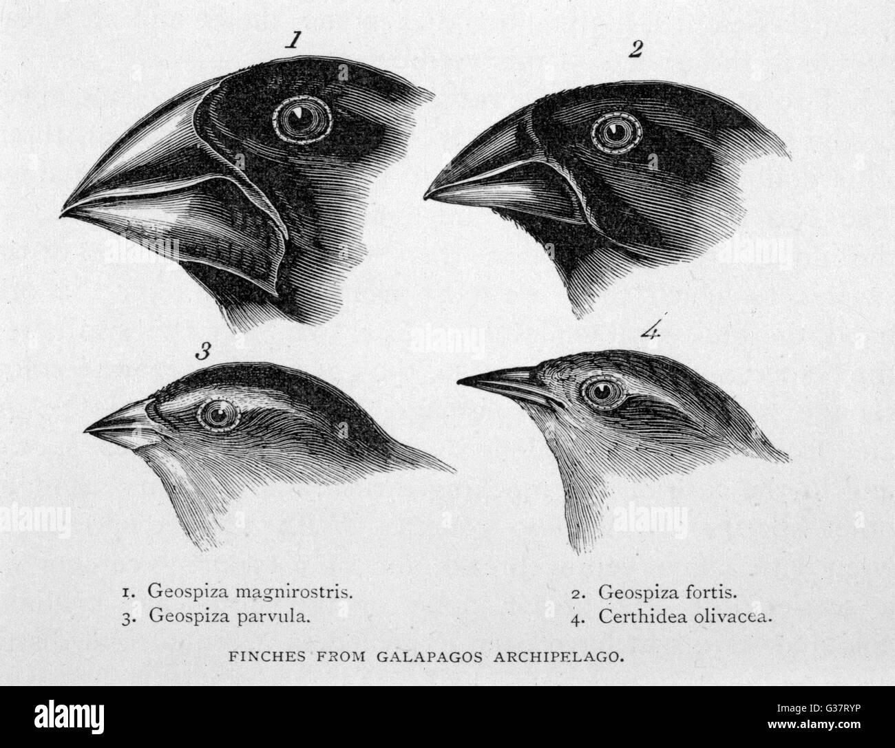 Finches from the Galapagos Islands observed by Darwin         Date: 1835 - Stock Image