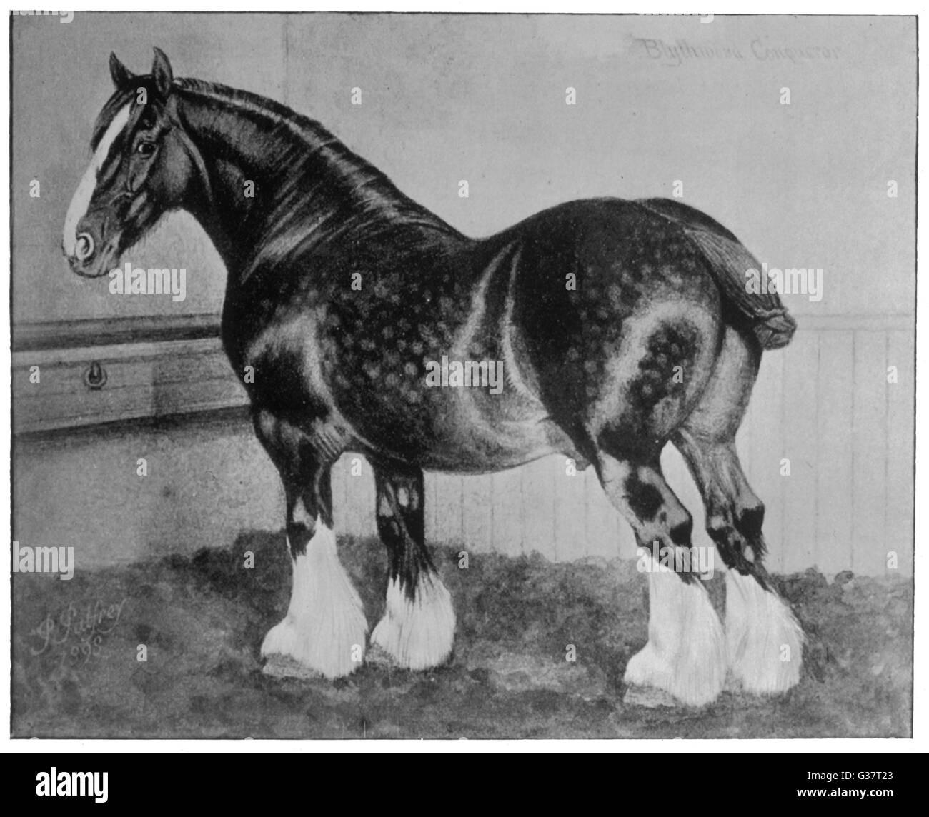 SHIRE HORSE 'Blythwood Conqueror'         Date: 1899 - Stock Image