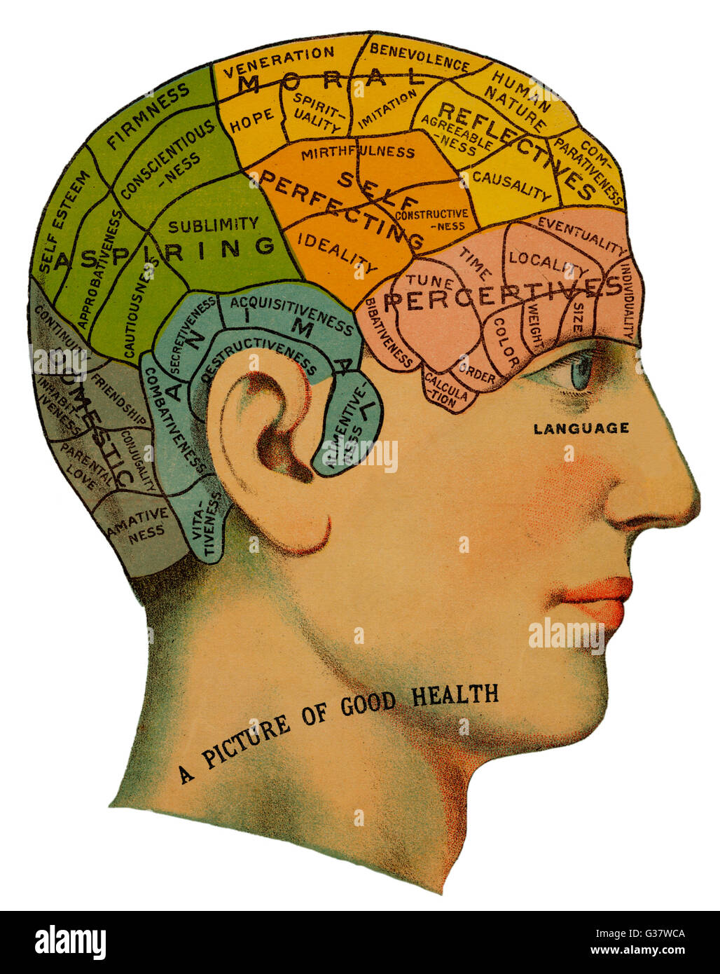 A phrenological head, showing  the different categories of the  brain which should exist in  healthy humans. These - Stock Image