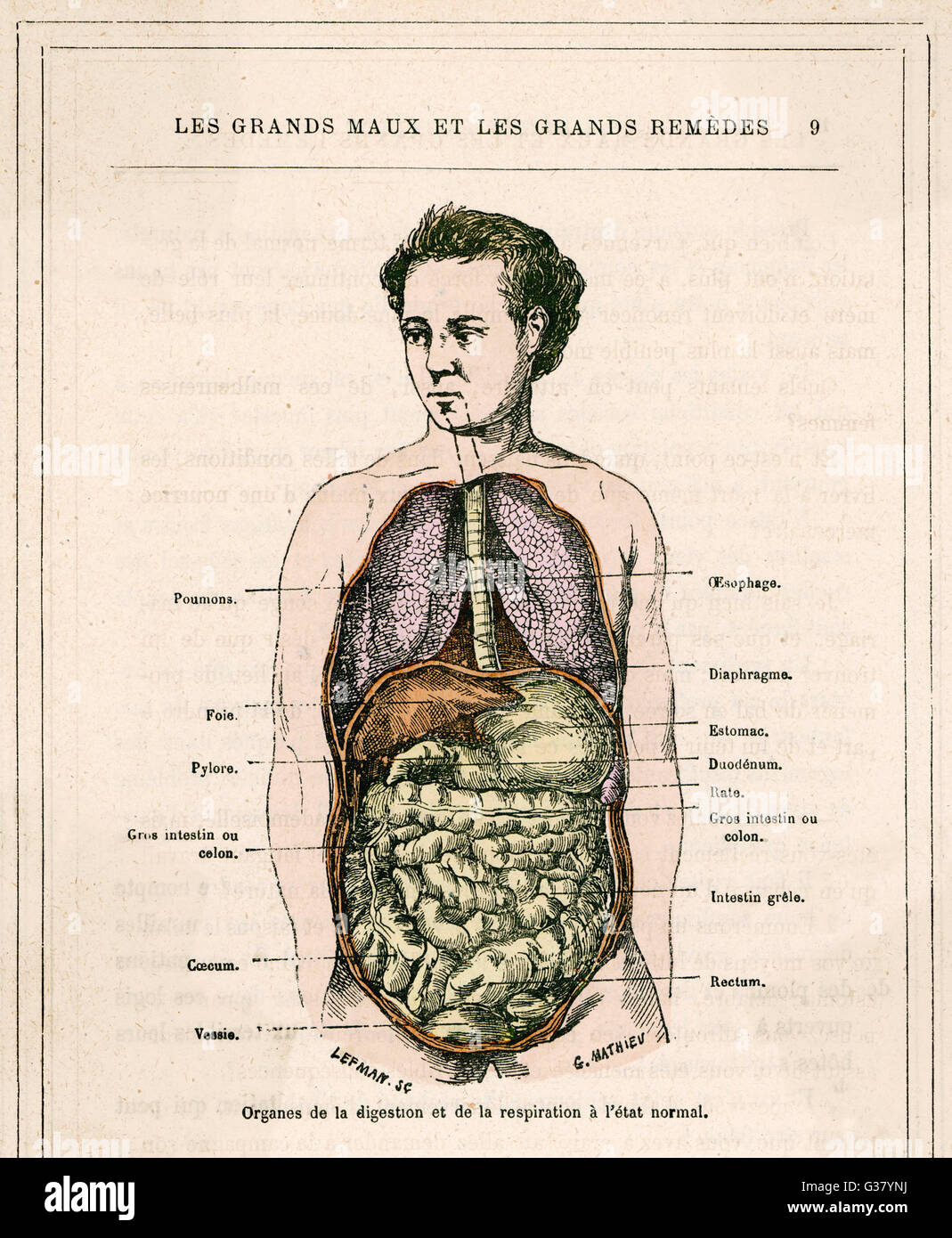 Organs of digestion and  respiration.         Date: circa 1880 - Stock Image