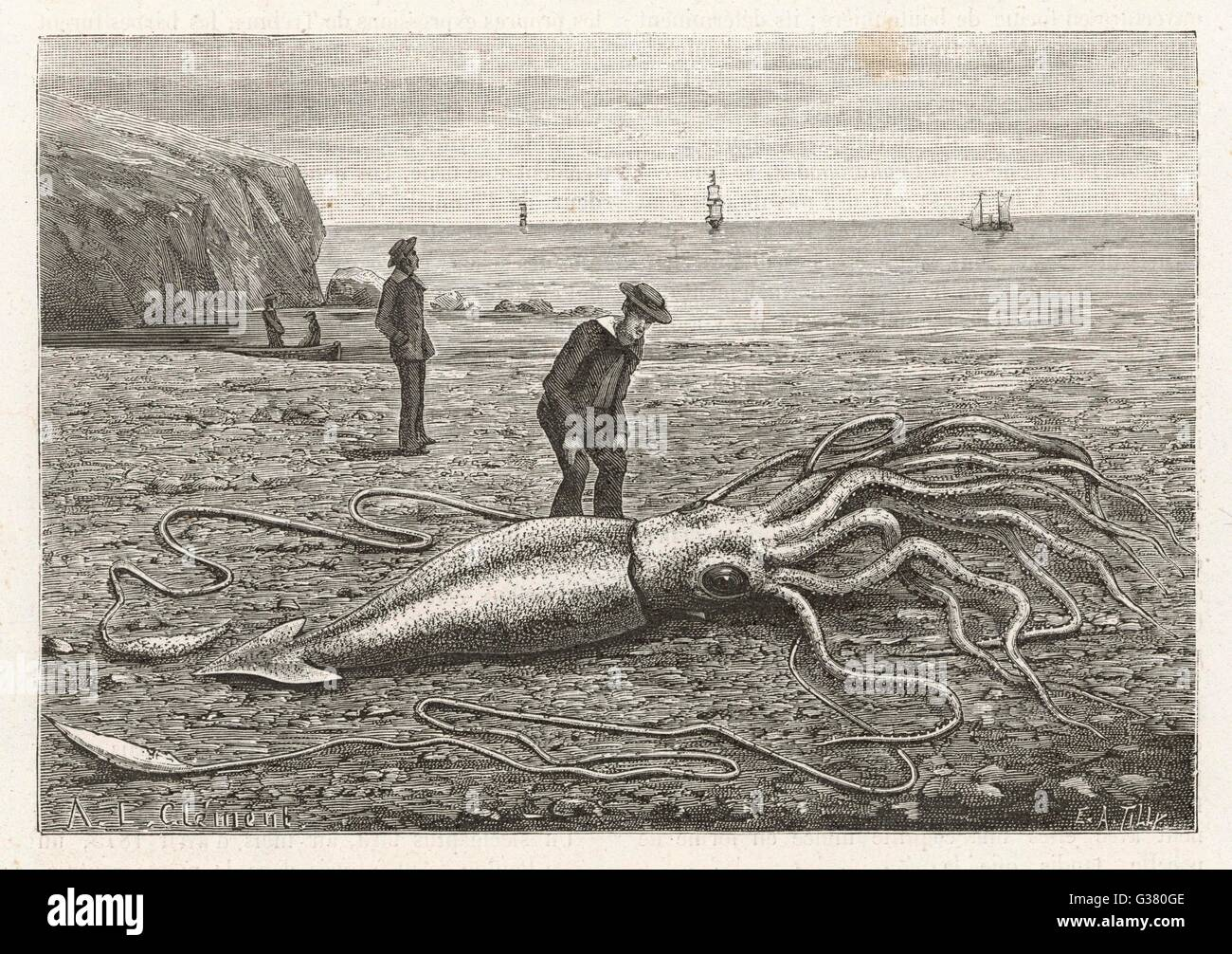 ARCHITEUTHIS PRINCEPS stranded on a Newfoundland beach        Date: 1883 - Stock Image