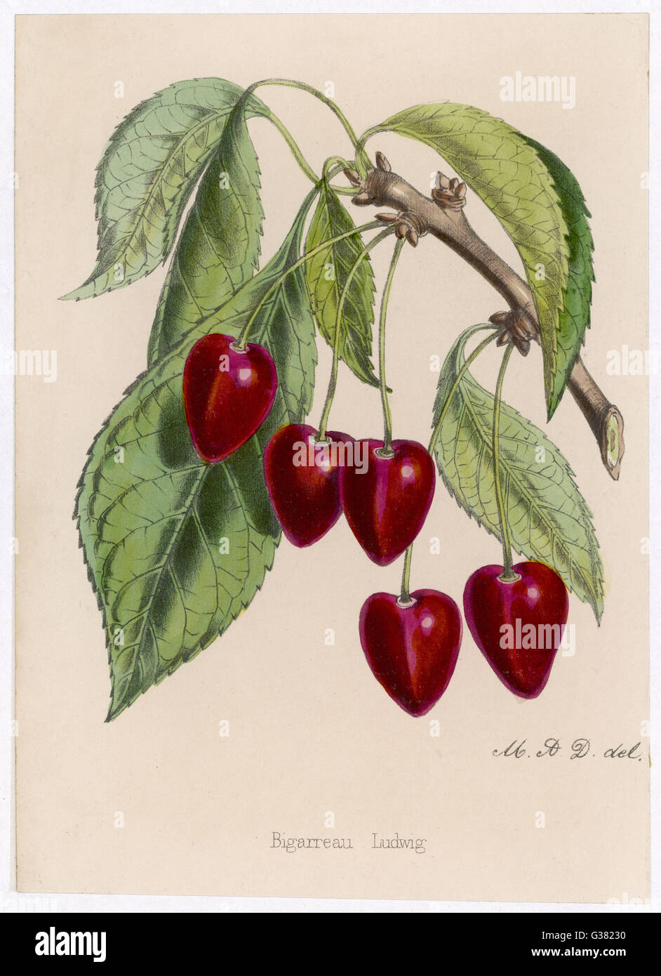 A bunch of cherries still  attached to a twig         Date: 19th century - Stock Image