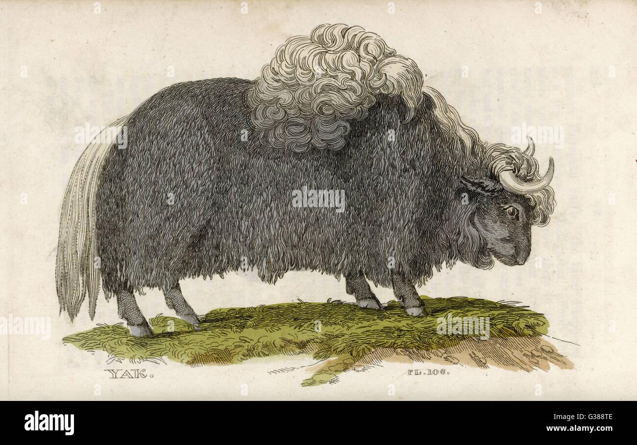 Yak          Date: 1811 - Stock Image