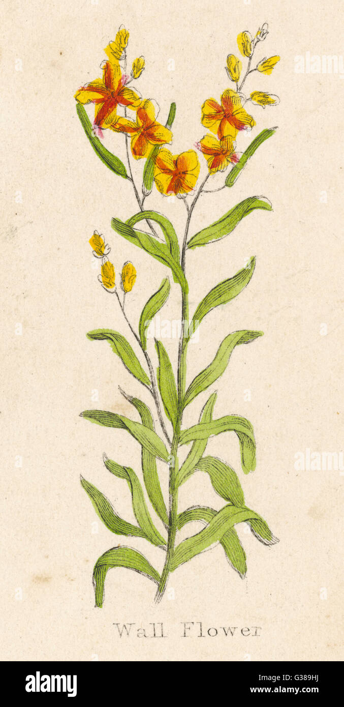 also known as CHEIRANTHUS CH.  WALL FLOWER        Date: circa 1820 - Stock Image