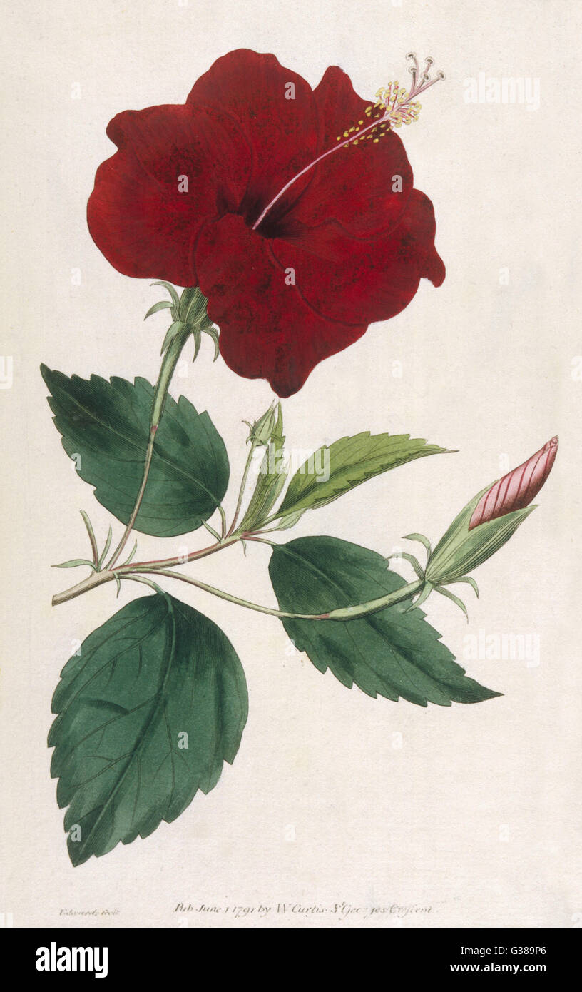 CHINA ROSE HIBISCUS          Date: 1791 - Stock Image