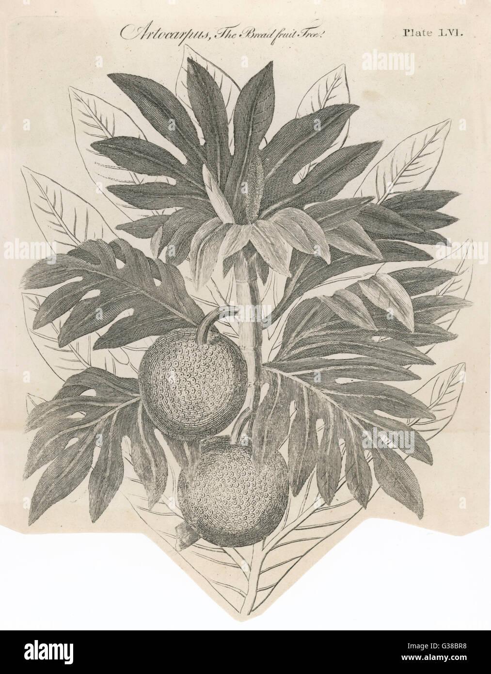 BREAD FRUIT         Date: 1768 - Stock Image