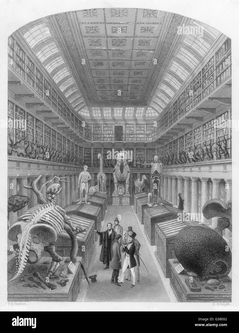 HUNTERIAN MUSEUM (Royal College of Surgeons)  Visitors observing various skeletons and natural history  specimens - Stock Image
