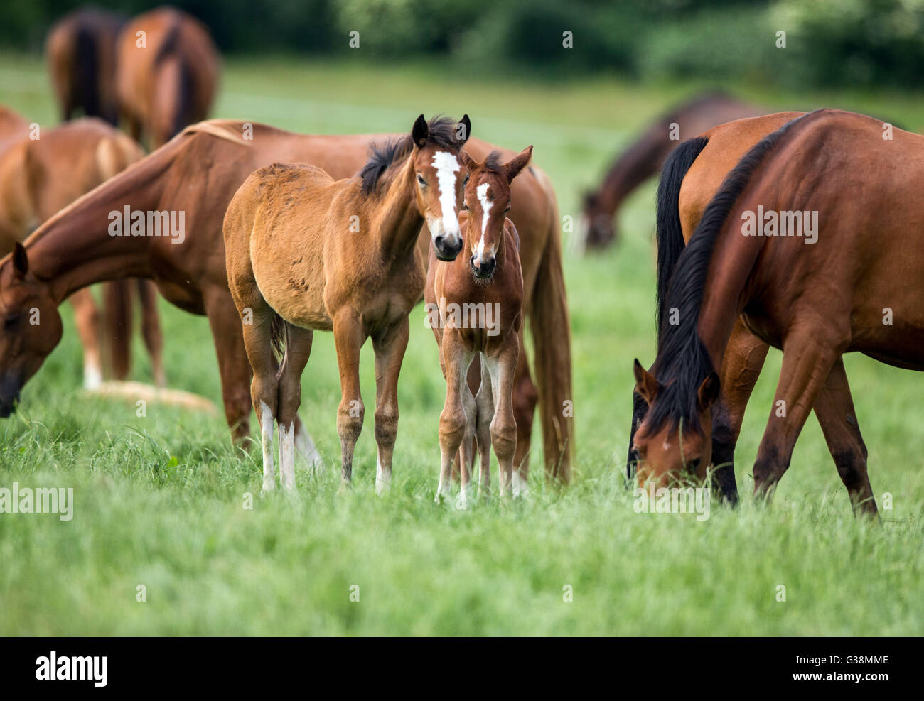 Ganschow, Germany. 9th June, 2016. Young foals stand in the paddocks at the stud Ganschow in Germany, 9 June 2016. - Stock Image