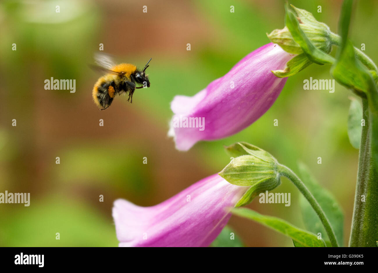 Warm weather with hazy sunshine and the purple foxgloves are at their peak. Ideal working conditions for bees. - Stock Image