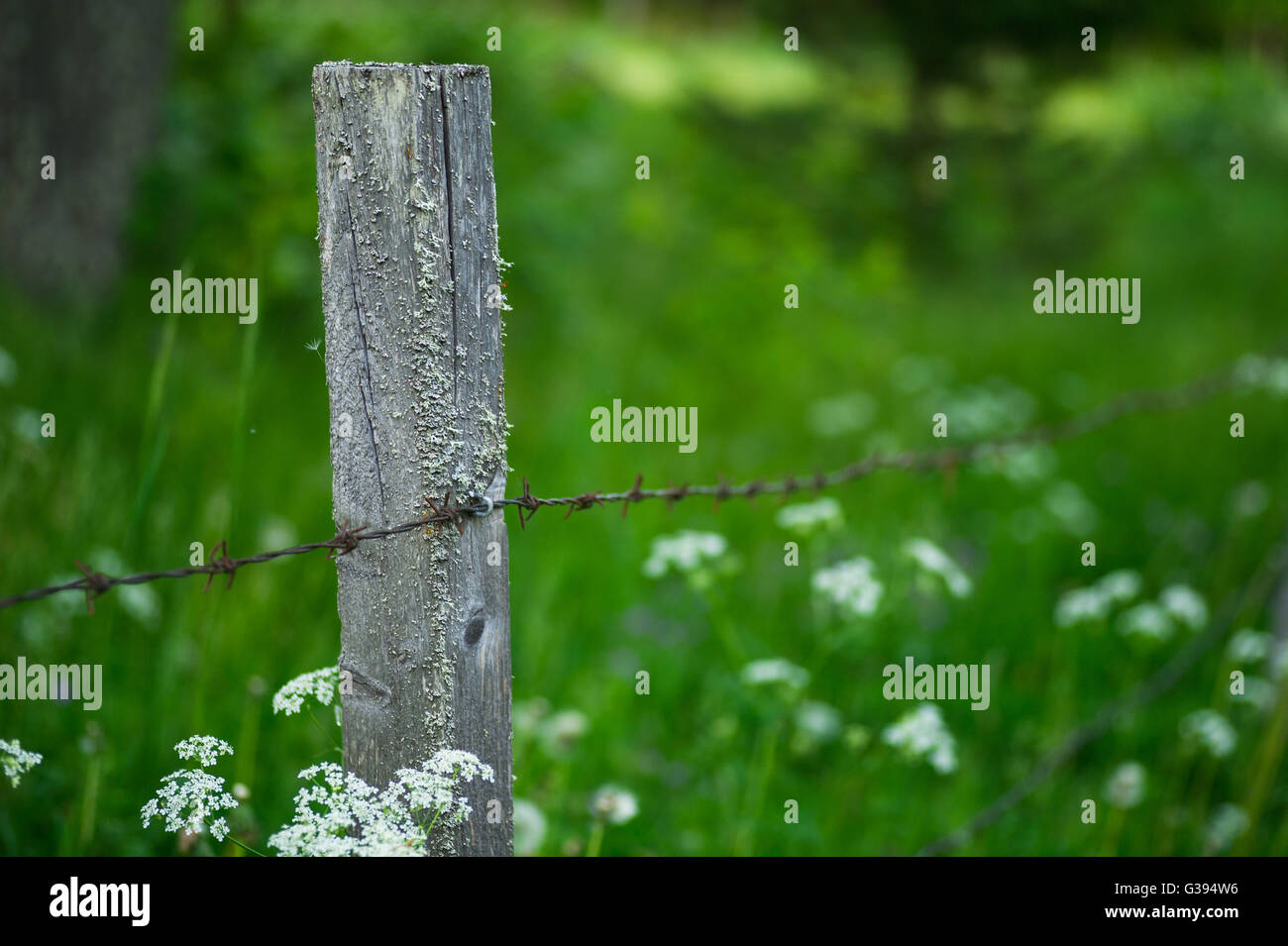 Barbed wire around a summer meadow used as grazing land. - Stock Image